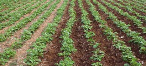 Συνεχίζονται οι προσβολές από περονόσπορο στις φθινοπωρινές καλλιέργειες πατάτας
