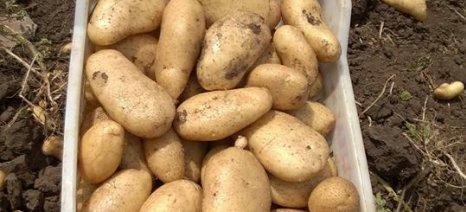 Υποτονική η παραγωγή πατάτας στη Βοιωτία