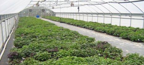 Χρειάζεται σχέδιο για καλλιέργεια πατάτας σε θερμοκήπιο στη Μεσσηνία
