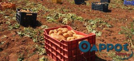 Όλο και μειώνεται η παραγωγή πατάτας στη Μεσσηνία