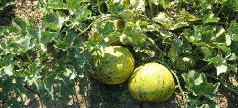 Εκτεταμένη προσβολή καλλιεργειών πεπονιού από ωίδιο στον Έβρο