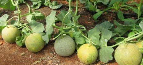 Το ωίδιο απειλεί τις καλλιέργειες πεπονιού στον Έβρο