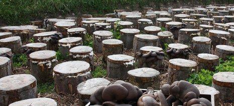 Συγκαλλιέργεια μανιταριών με δέντρα: Η περίπτωση του pleurotus