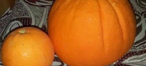 Πορτοκάλι ενός κιλού στη Μεσαρά