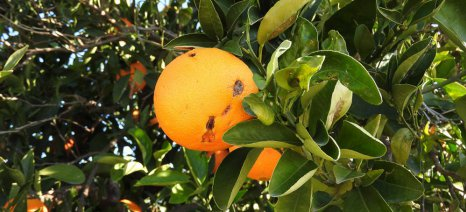 Οι αγρότες της Αργολίδας θέλουν να πληρώνουν ασφάλιστρο για χυμό και να αποζημιώνονται για νωπό πορτοκάλι!