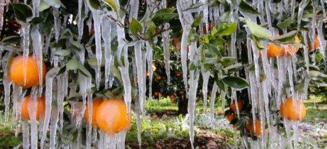 Μέχρι 1 Φεβρουαρίου οι δηλώσεις ζημιάς από παγετό για Μολάους και Ασωπό Λακωνίας