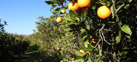 Με καλές τιμές κλείνει η χρονιά για το πορτοκάλι, αλλά με μειωμένες ποσότητες