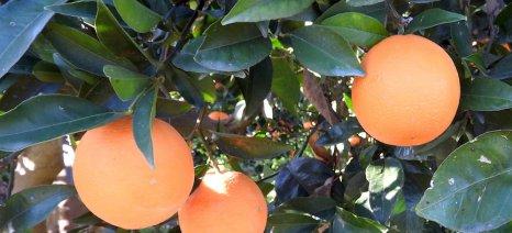 Συνολικά 80.000 τόνοι πορτοκάλια καταστράφηκαν στην Αργολίδα, σύμφωνα με ερώτηση που κατέθεσε στη Βουλή ο Ανδριανός