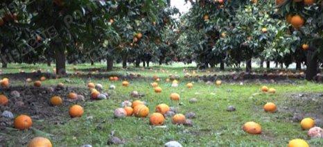 Ο πάγος καταστρέφει τα πορτοκάλια στα Κρέστενα Ηλείας