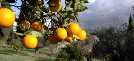 Νέο κρούσμα τριστέτσας σε πορτοκαλεώνα της Λακωνίας