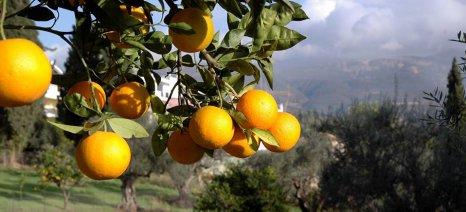 Με τιμές 6-10 λεπτά/κιλό θα παραλαμβάνει πορτοκάλια για χυμό ο Γ.Σ. Καλυβίων