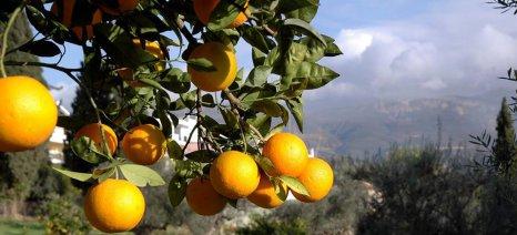 Οι παραγωγοί πορτοκαλιών στα Καλυβάκια Ηλείας έπαθαν κι έμαθαν από τις περσινές προσβολές εντόμων