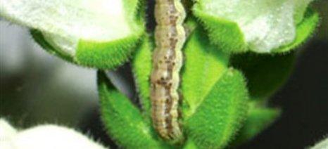 Σε επικίνδυνη εξέλιξη η 2η γενιά πράσινου σκουληκιού στο βαμβάκι του Έβρου