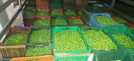 Τον τιμοκατάλογο αγοράς πράσινων επιτραπέζιων ελιών δημοσίευσε η Ένωση Αγρινίου