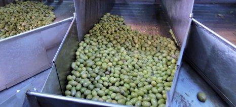 Κατά 0,05 ευρώ/κιλό αύξησε τις τιμές αγοράς πράσινων ελιών η Ένωση Αγρινίου για τη φετινή σοδειά