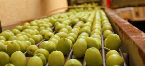 Μειωμένη αναμένεται φέτος η παραγωγή πράσινης ελιάς Χαλκιδικής