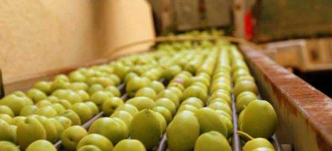 Για τις 24 Αυγούστου μεταφέρθηκε το «ραντεβού» παραγωγών και μεταποιητών-εμπόρων της ελιάς Χαλκιδικής