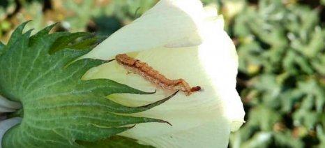 Πράσινο σκουλήκι: 5 ζωντανές προνύμφες σε 100 βαμβακόφυτα σημαίνει ψεκασμός