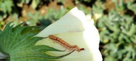 «Πληγή» για τα βαμβάκια του Έβρου φέτος το πράσινο σκουλήκι