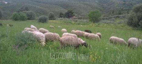 «Άνθισε» η αιγοπροβατοτροφία στη Λέσβο