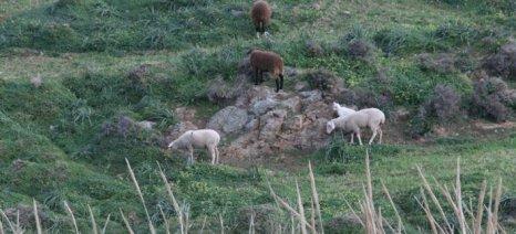 Περιφερειακή Ενότητα Νάξου: Ξεκινά η απογραφή αιγοπροβάτων 2016