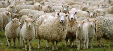 Απόδοση στους κτηνοτρόφους των 446 εκατ. € από τις επιστροφές των καταλογισμών ζητά ο Κτηνοτροφικός Σύλλογος Τυρνάβου