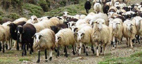 Απόπειρα συγκέντρωσης της αιγοπροβατοτροφίας στα χέρια του αγροτοδιατροφικού κεφαλαίου καταγγέλλει η ΑΝΤ.ΑΡ.ΣΥ.Α.