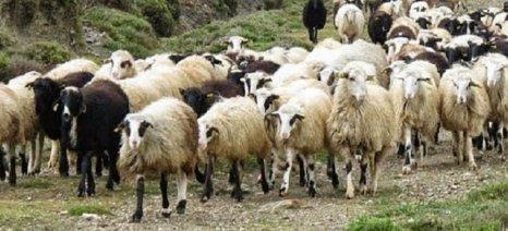 Αποζημιώσεις όπως στο ποδόσφαιρο ζητούν οι κτηνοτρόφοι Ανατολικής Μακεδονίας - Θράκης