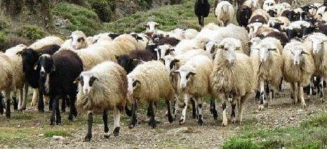 Καθυστερούμενα εξισωτικών και προκαταβολές 50% των ενισχύσεων ζητά η Πανελλήνια Ένωση Κτηνοτρόφων