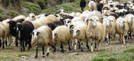 Διαφωνούν οι Κτηνοτροφικοί Σύλλογοι Ανατολικής Μακεδονίας Θράκης με αποζημιώσεις βάσει συνδεδεμένης