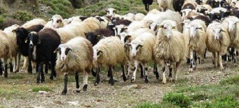 Στην τελική οι de minimis για τους αιγοπροβατοτρόφους της Κρήτης