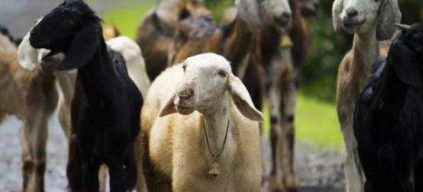 Λύκοι και αρκούδες σκοτώνουν πρόβατα και βοοειδή στη Δυτική Μακεδονία