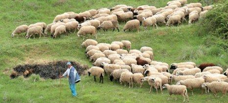 Μεσοπρόθεσμη στρατηγική για την προβατοτροφία ζητούν οι αγροτικές οργανώσεις