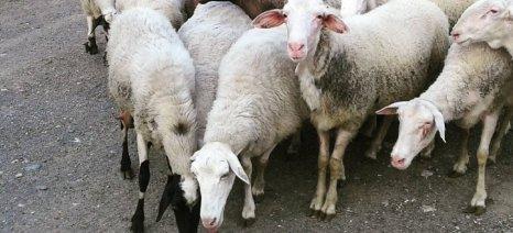Δύο νέα κρούσματα κλοπής ζώων στην Ήπειρο