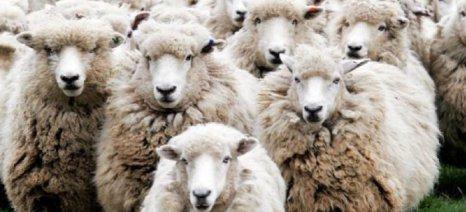 Μάστιγα οι ζημιές στα Χανιά που οφείλονται σε κοπάδια κτηνοτρόφων