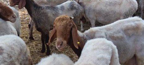 Ευρωπαίοι κτηνίατροι έρχονται στη Λέσβο για να αποτιμήσουν την έκταση της επιζωοτίας της ευλογιάς