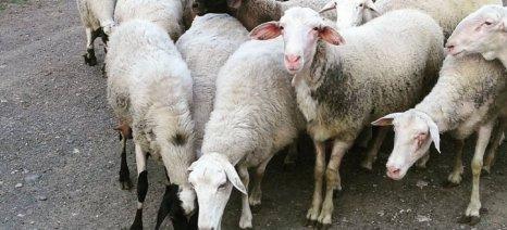 Περισσότεροι νέοι πρέπει να μπουν στην προβατοτροφία λένε οι Copa-Cogeca