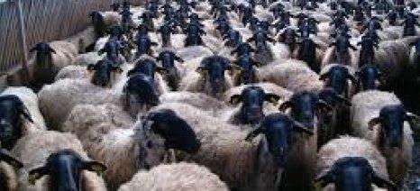 Καστοριά: Ημερίδα για τις αυτόχθονες φυλές βοοειδών και αιγοπροβάτων