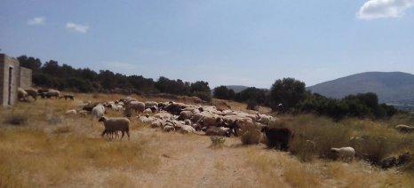 """Σε όσους κτηνοτρόφους δήλωσαν """"αγελαία"""" τα ζώα τους η ενίσχυση de minimis των 10 ευρώ ανά κεφάλι για ζωοτροφές"""