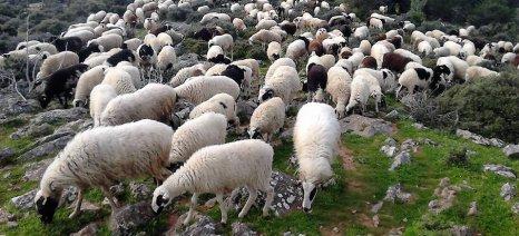 Αιγοπρόβατα: Στα 29 ευρώ/ζώο η συνδεδεμένη ενίσχυση που αντικαθιστά τα ειδικά δικαιώματα