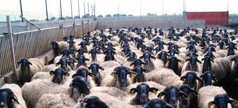 Στα 23 εκατ. ευρώ «κλείνει» το ποσό των de minimis για τους κτηνοτρόφους - Αγανακτεί ο Σύλλογος του Τυρνάβου