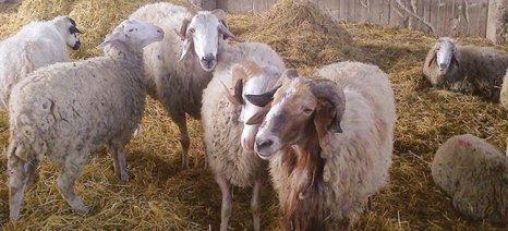 «Η Βουλγαρία αυτή τη στιγμή σφάζει πιο ακριβά από εμάς», λέει ο πρόεδρος του Κτηνοτροφικού Συλλόγου Ροδόπης