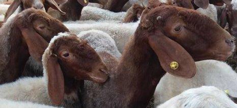 Τι πρέπει να γνωρίζουν οι κτηνοτρόφοι των νησιών κοντά στην Τουρκία για τον αφθώδη πυρετό