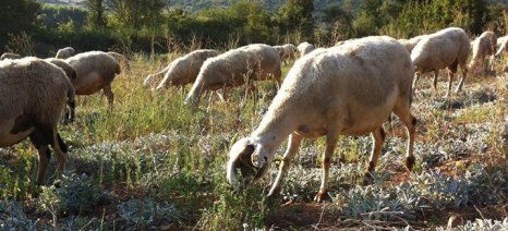 Αγοραστός: «Το υπουργείο θέλει να βάλει τους κτηνοτρόφους να τσακώνονται μεταξύ τους»