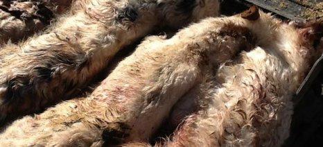 Βρήκε σφαγιασμένα όλα του τα πρόβατα, κτηνοτρόφος από το Ηράκλειο Κρήτης