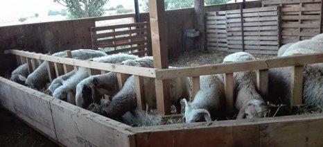 Πώς να αυξήσετε την λιποπεριεκτικότητα του γάλακτος στα αιγοπρόβατα