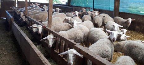 """Οι κτηνοτρόφοι του Τυρνάβου και της Ανατολικής Μακεδονίας-Θράκης μιλούν για """"διασπαστές"""" στη Διεπαγγελματική Φέτας"""