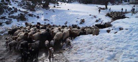 Εκχιονιστικά επί 24ώρου βάσεως ζητούν οι κτηνοτρόφοι της ορεινής Ροδόπης