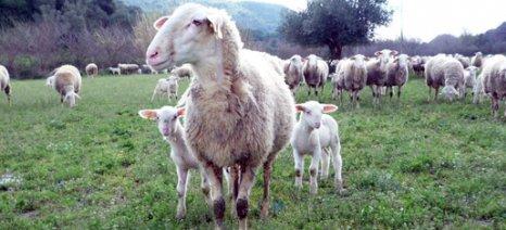 Καινοτομία και γενετική βελτίωση μπορούν να δώσουν νέα ώθηση στην προβατοτροφία