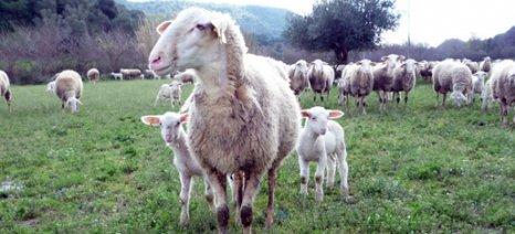 Ενισχύσεις 5,5 εκατ. ευρώ σε 16 φορείς για τη δράση «Γενετικοί πόροι στην κτηνοτροφία»